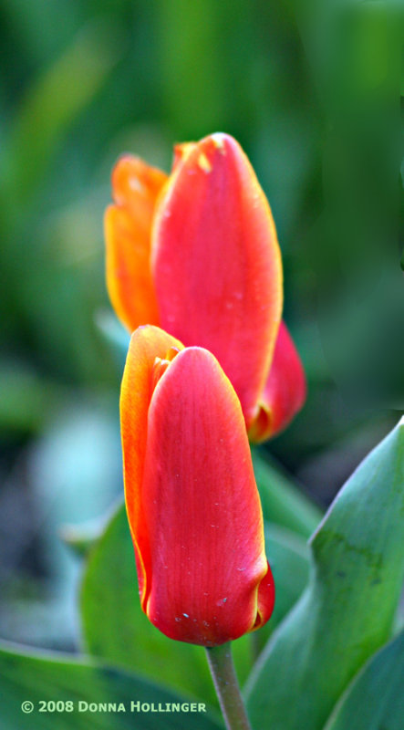 Kaufmania Tulips