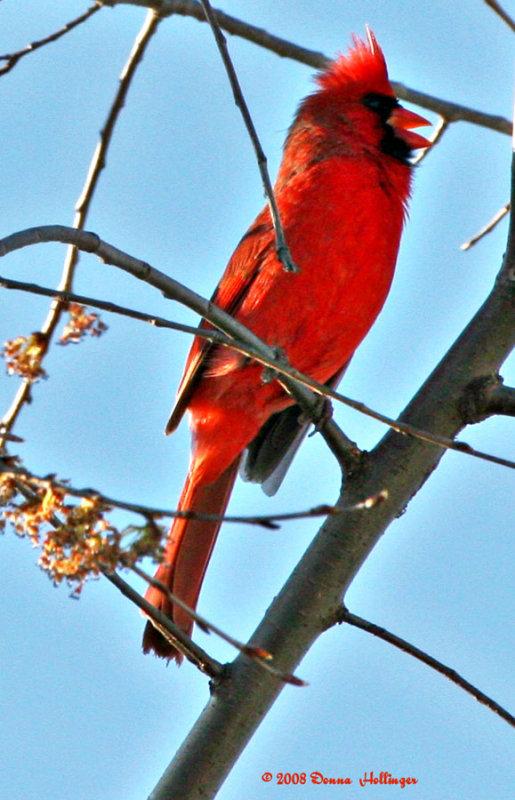 Cardinals Crest backlit