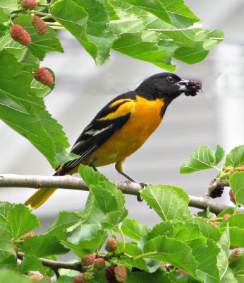 Male Baltimore Oriole Eating a Mulberry