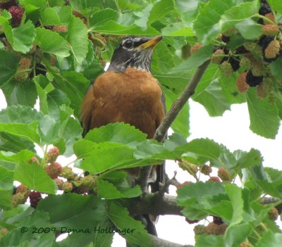 Robin in the Mulberry Tree