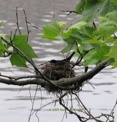 Kingbird on its nest