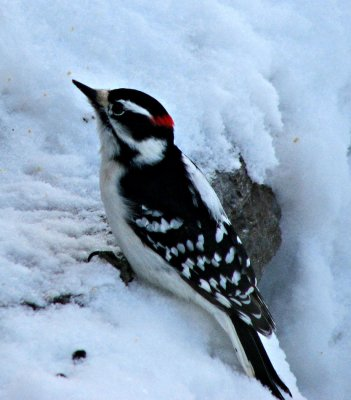 Downy Woodpecker in the Snow
