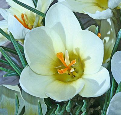 Cream Colored Crocus