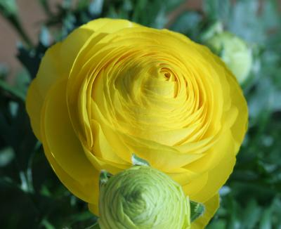Layers of a Yellow Ranunculus