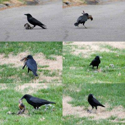 Crow Kills Robin