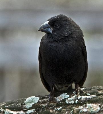 feathery black