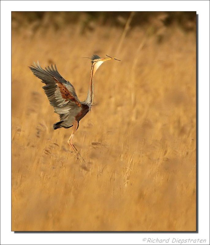 Purperreiger - Ardea purpurea - Purple Heron