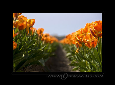 ... more tulips ...