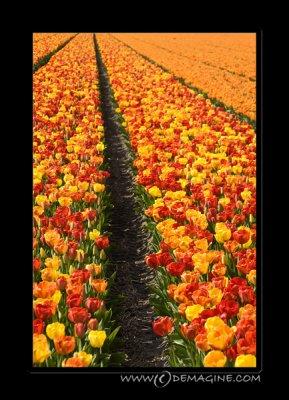 ... even more tulips.