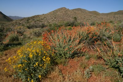 Brittlebush and mallow grew back after the fire