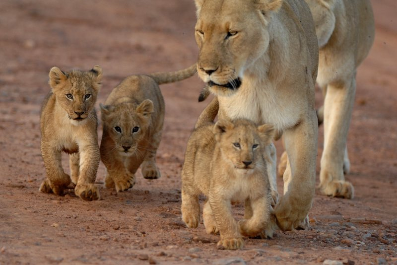 Lion familly walk 2 (Masai mara Kenya)
