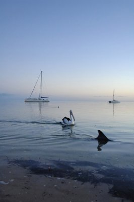 Western Australia Dolphin and pelican