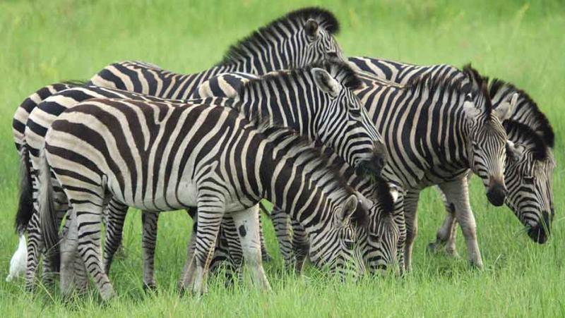 how many zebras do you see ?