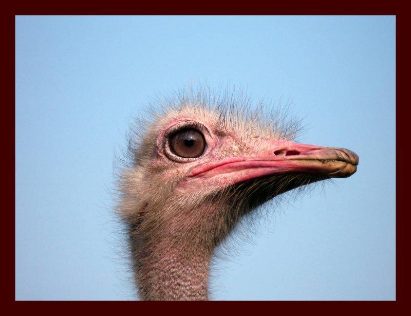 Ostrich in Wittelte.jpg