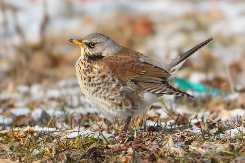 Fieldfare (turdus pilaris), Aclens, Switzerland, February 2010