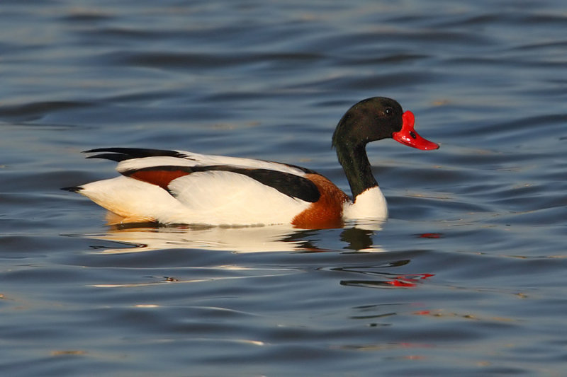 Common shelduck (tadorna tadorna), Santa Pola, Spain, April 2010