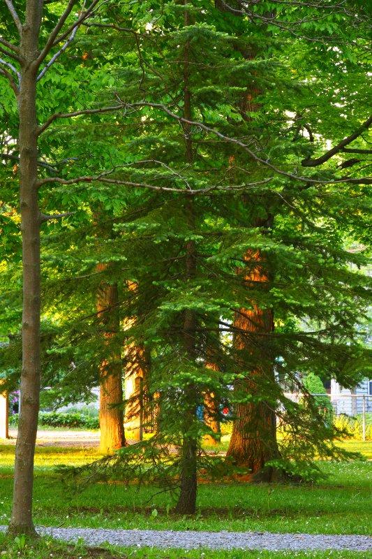 Pine Tree In Hamlin Park