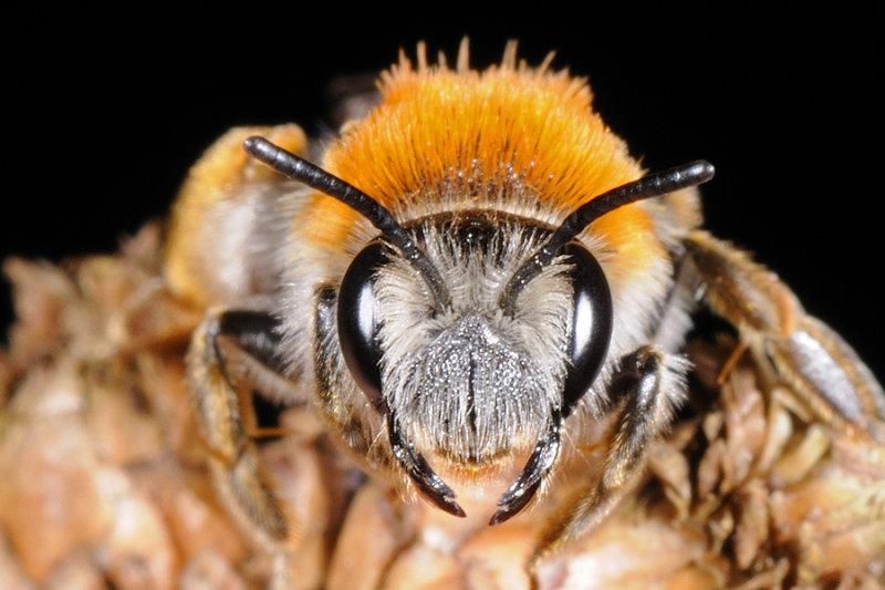 Early Mining Bee, Andrena haemorrhoa, female 1