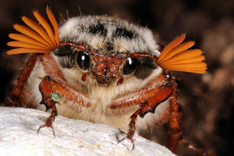 Common cockchafer, Melolontha melolontha, Almindelig oldenborre 1