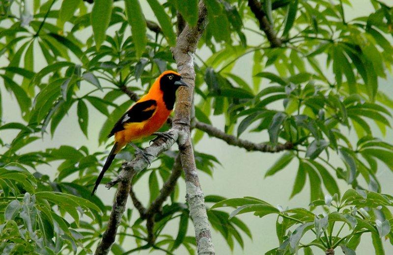 Orange-backed Troupial
