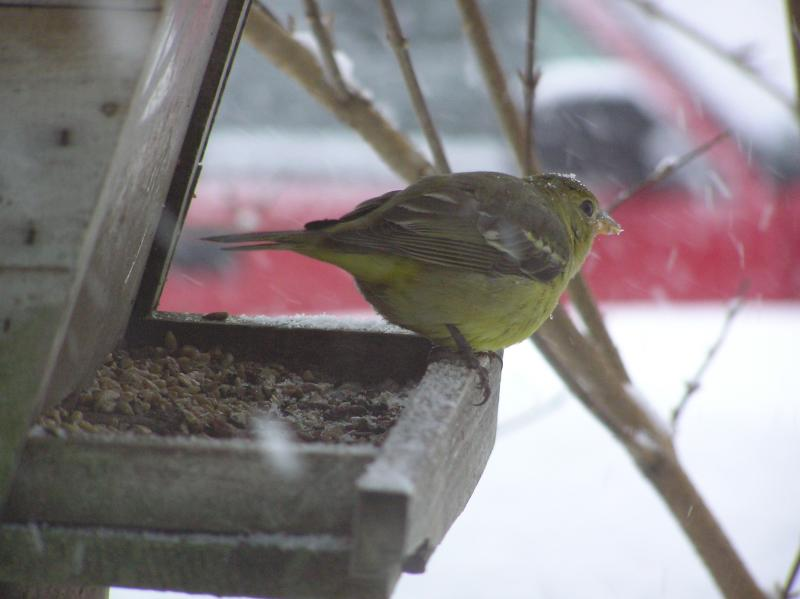 Western Tanager-Machias, Maine