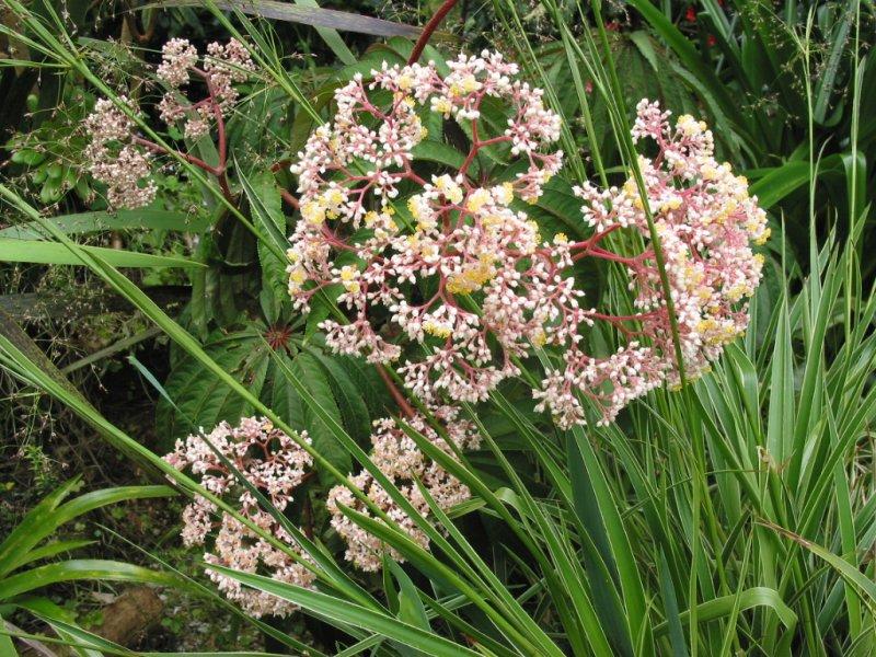 Begonia Luxurians  04-48