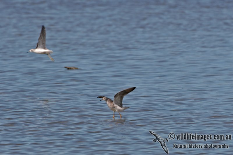 Lesser Yellowlegs a3789.jpg