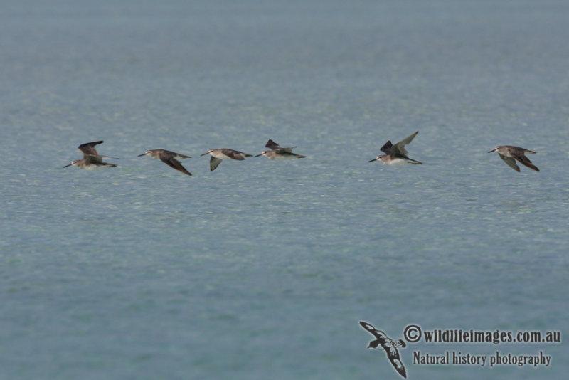 Grey-tailed Tattler 5801.jpg