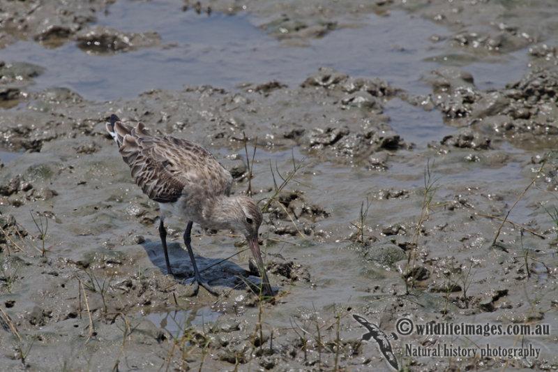 Bar-tailed Godwit a5190.jpg