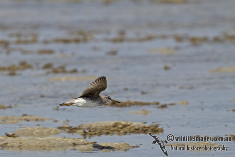 Grey-tailed Tattler a4890.jpg