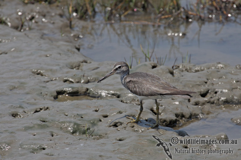 Grey-tailed Tattler a5164.jpg