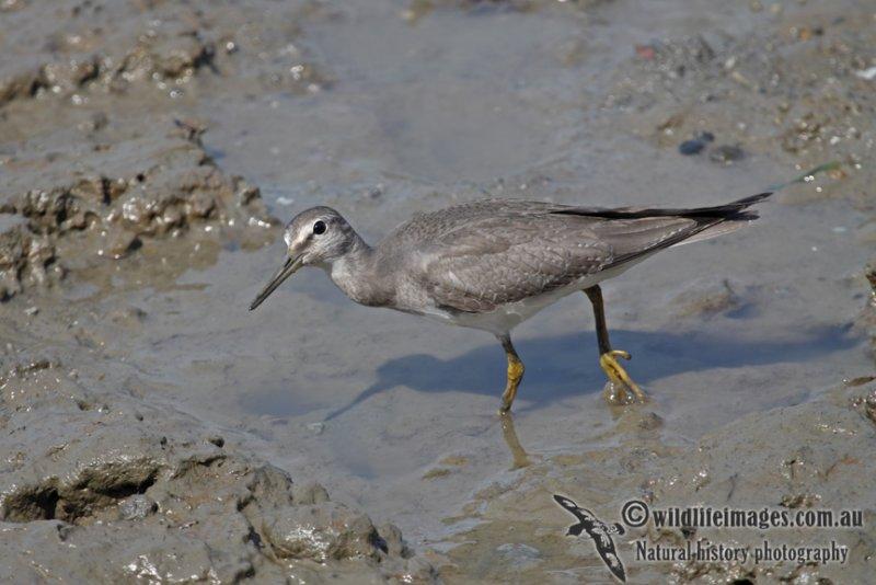 Grey-tailed Tattler a5382.jpg