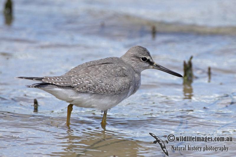 Grey-tailed Tattler a6359.jpg