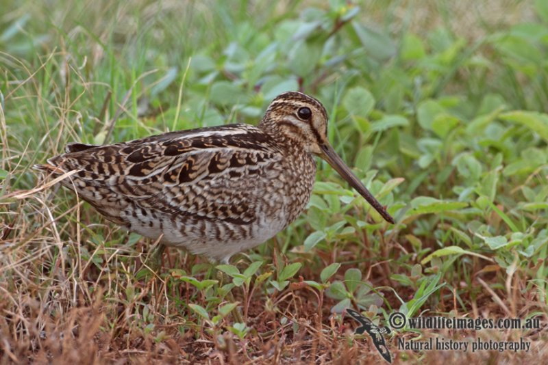 Pin-tailed Snipe a1440.jpg