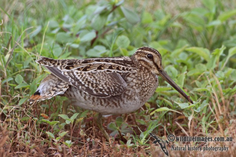 Pin-tailed Snipe a1446.jpg