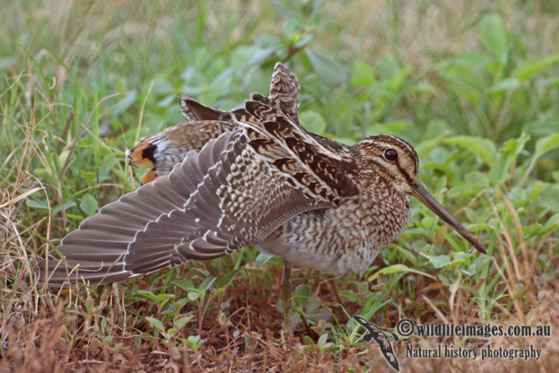 Pin-tailed Snipe a1450.jpg