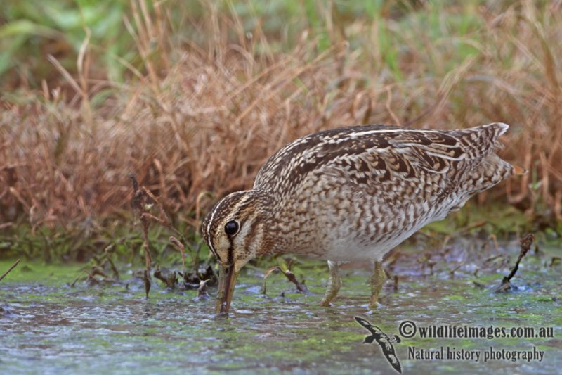 Pin-tailed Snipe a1501.jpg