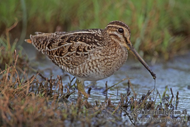 Pin-tailed Snipe a1718.jpg