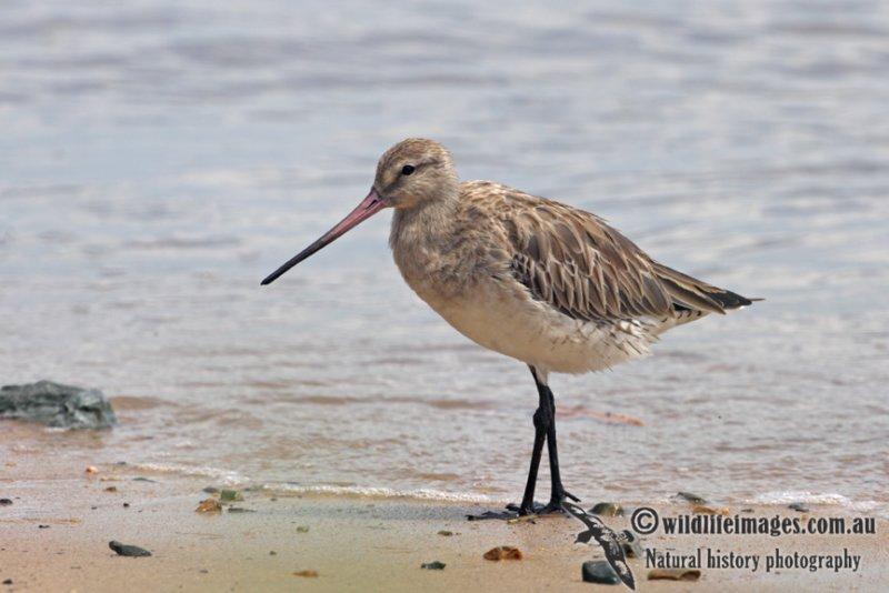 Bar-tailed Godwit a3100.jpg