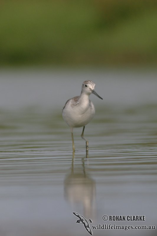 Common Greenshank 4350.jpg