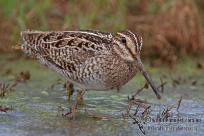 Pin-tailed Snipe a1752.jpg
