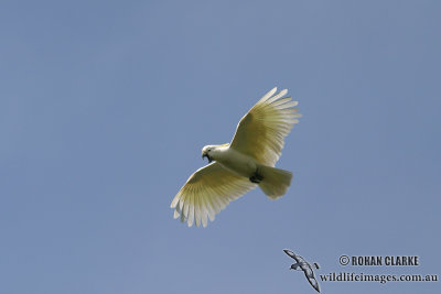 Sulphur-crested Cockatoo 6695.jpg