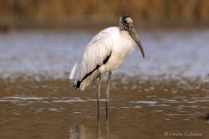 Rare Endangered Wood Stork