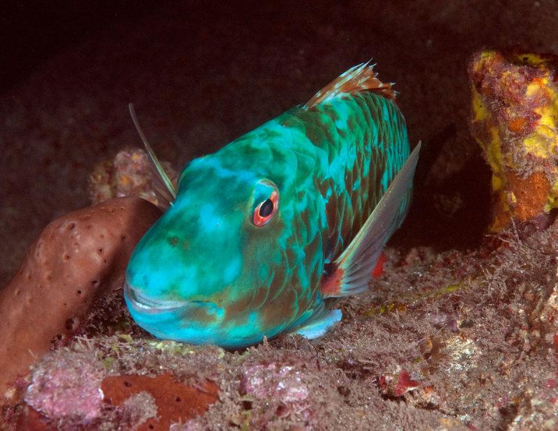 Sleeping Parrotfish