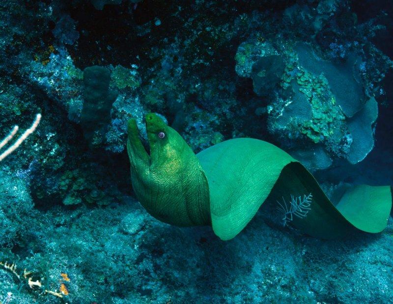 VERY LARGE Moray Eel