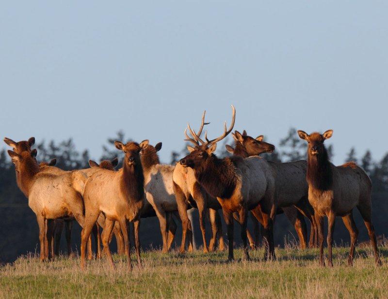 The Sequim Elk Herd