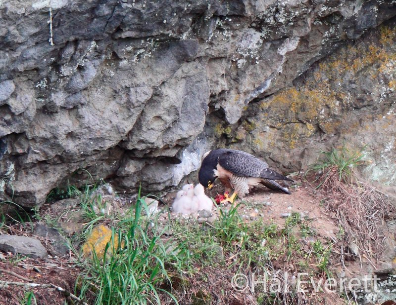 Peregrine parent, shredding prey into small strips for the eager chicks(note bill in prey)
