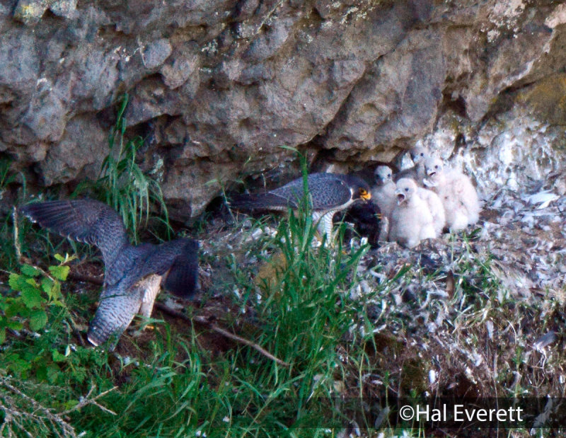 Peregrine Family: Chicks 3 Weeks Old