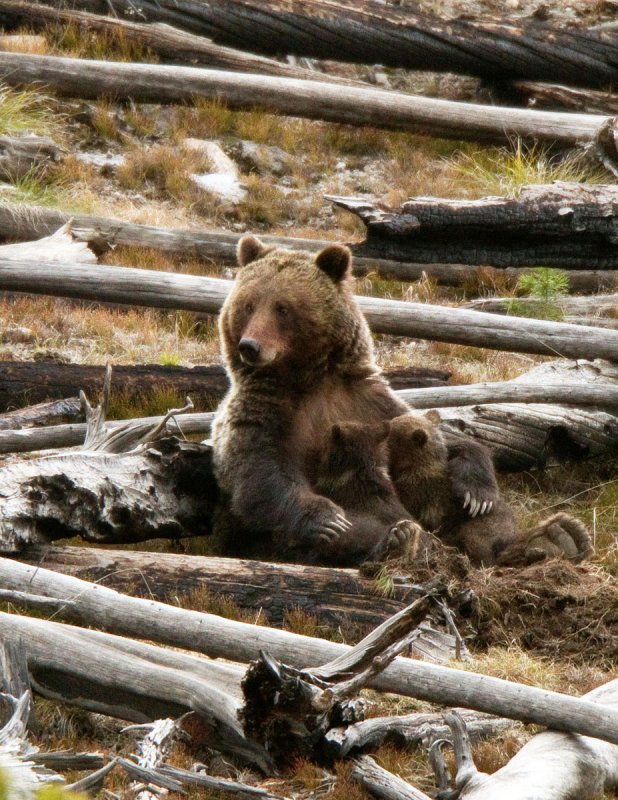 Grizzly Sow, Nursing Her Two Cubs of the Year