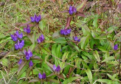 Balsam Mountain Gentian 1